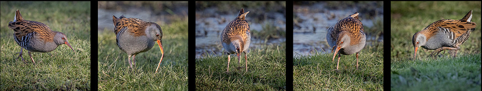 2nd THE WATER RAIL AND THE WORM by David Godfrey