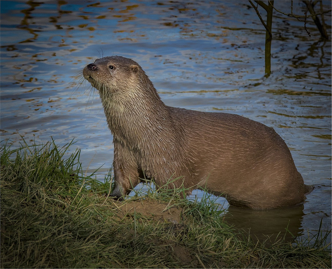19 OTTER by David Peek.jpg