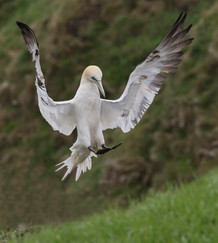 20 GANNET COMING TO LAND by John Hunt