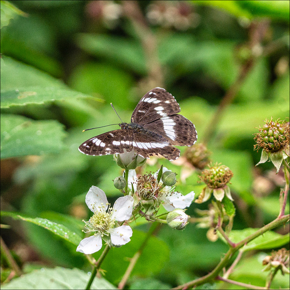 WHITE ADMIRAL by Steve Oakes
