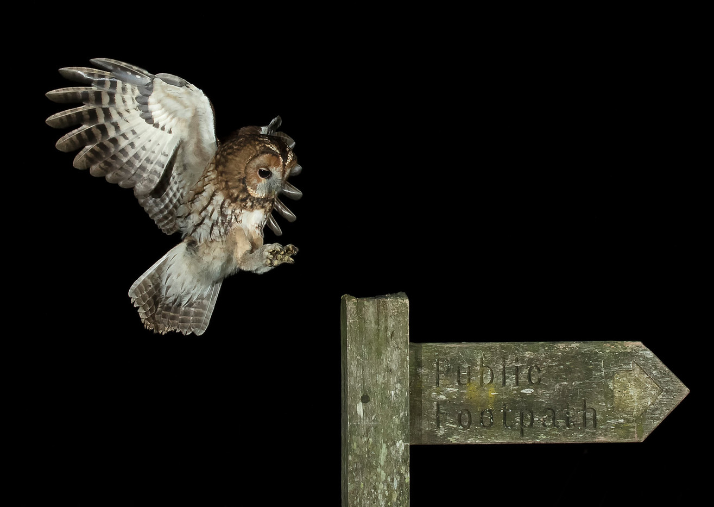 18 INCOMING WILD TAWNY OWL by Glenn Welch