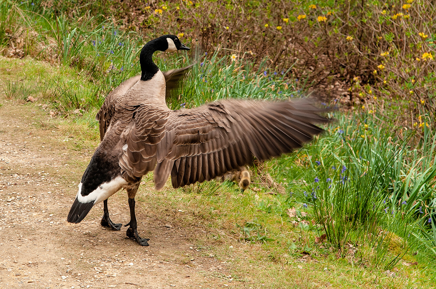 16 CANADA GOOSE SHIELDING HER GOSLING by Ann Paine