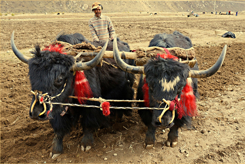 GROUP 2 19 PLOUGHING THE FIELDS - TIBET by Joan Gow