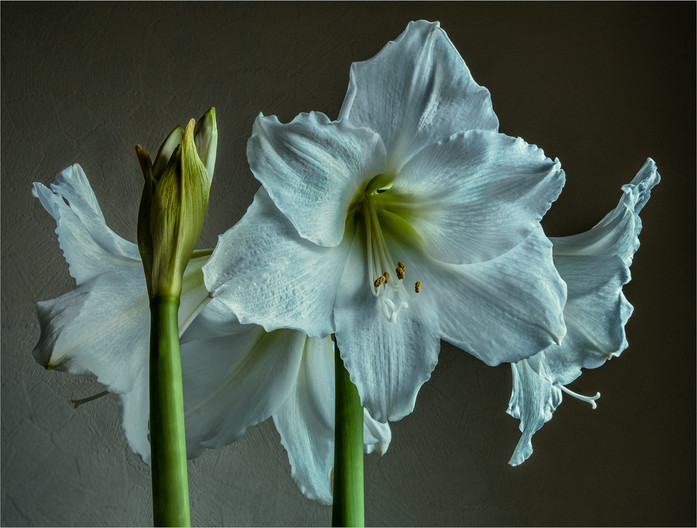 17 AMARYLLIS IN WINTER LIGHT by Colin  Hurley