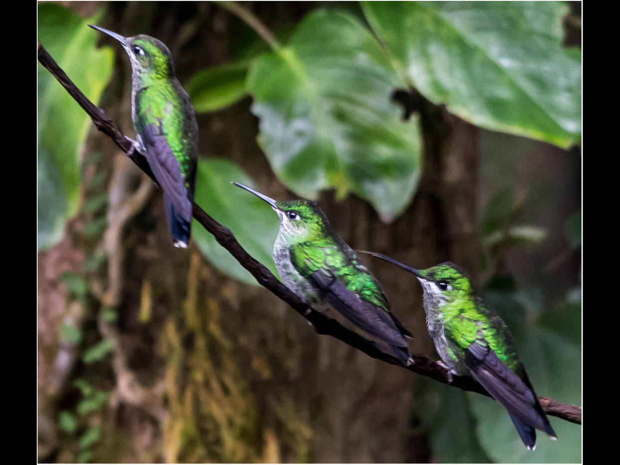 12 WHITE-BELLIED MOUNTAIN-GEM HUMMINGBIRDS by David Parkinson
