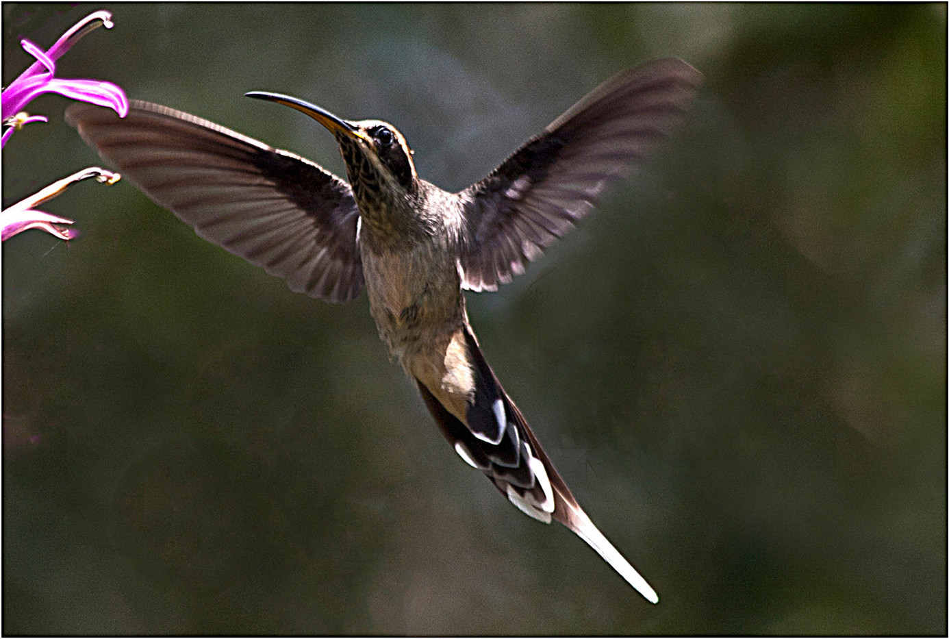 20 SLATE-THROATED HERMIT by Muffi Forbes
