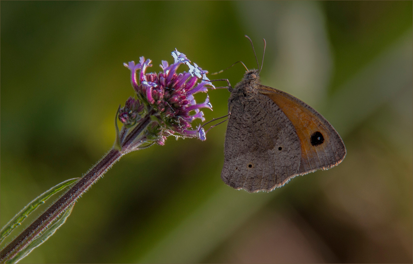 17 LITTLE BROWN ON VERBENA by Colin Burgess