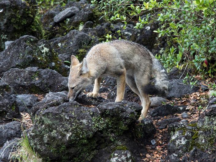 17 PATAGONIAN GREY FOX by David Parkinson