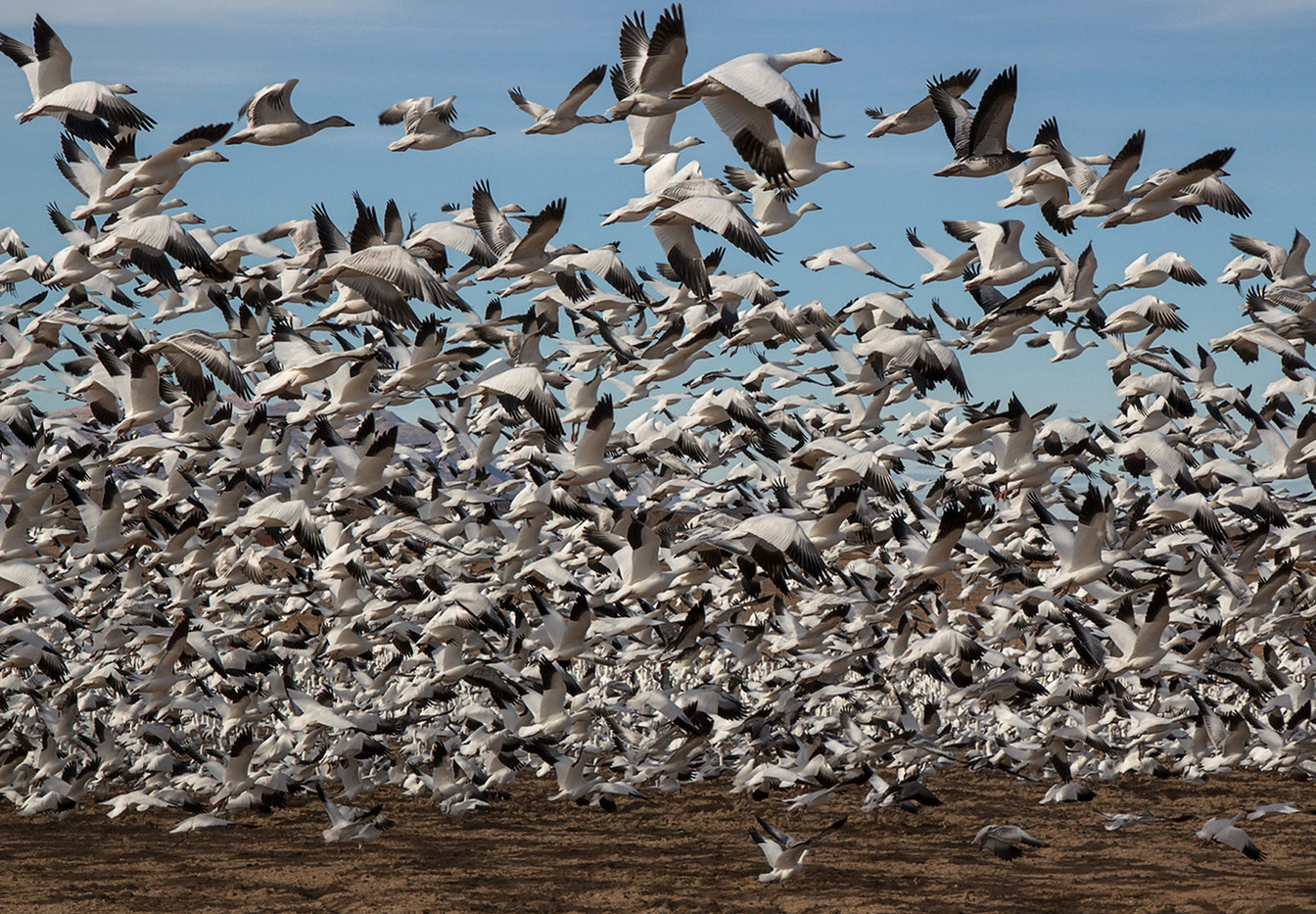 17 SNOW GEESE LIFT OFF by Pam Sherren