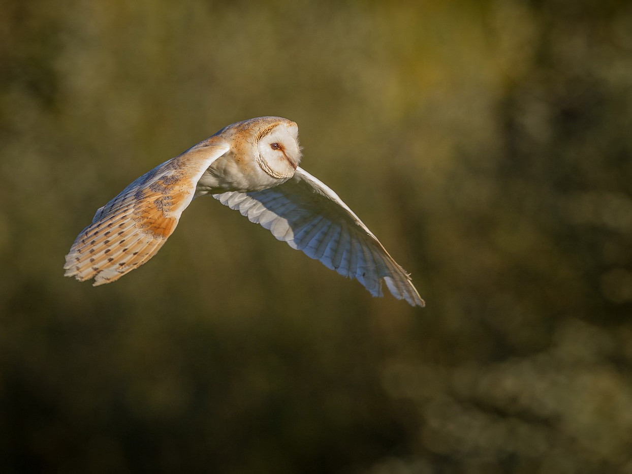 18 BARN OWL FLIGHT by David Godfrey