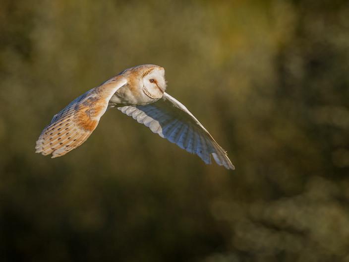 18 BARN OWL FLIGHT by David Godfrey