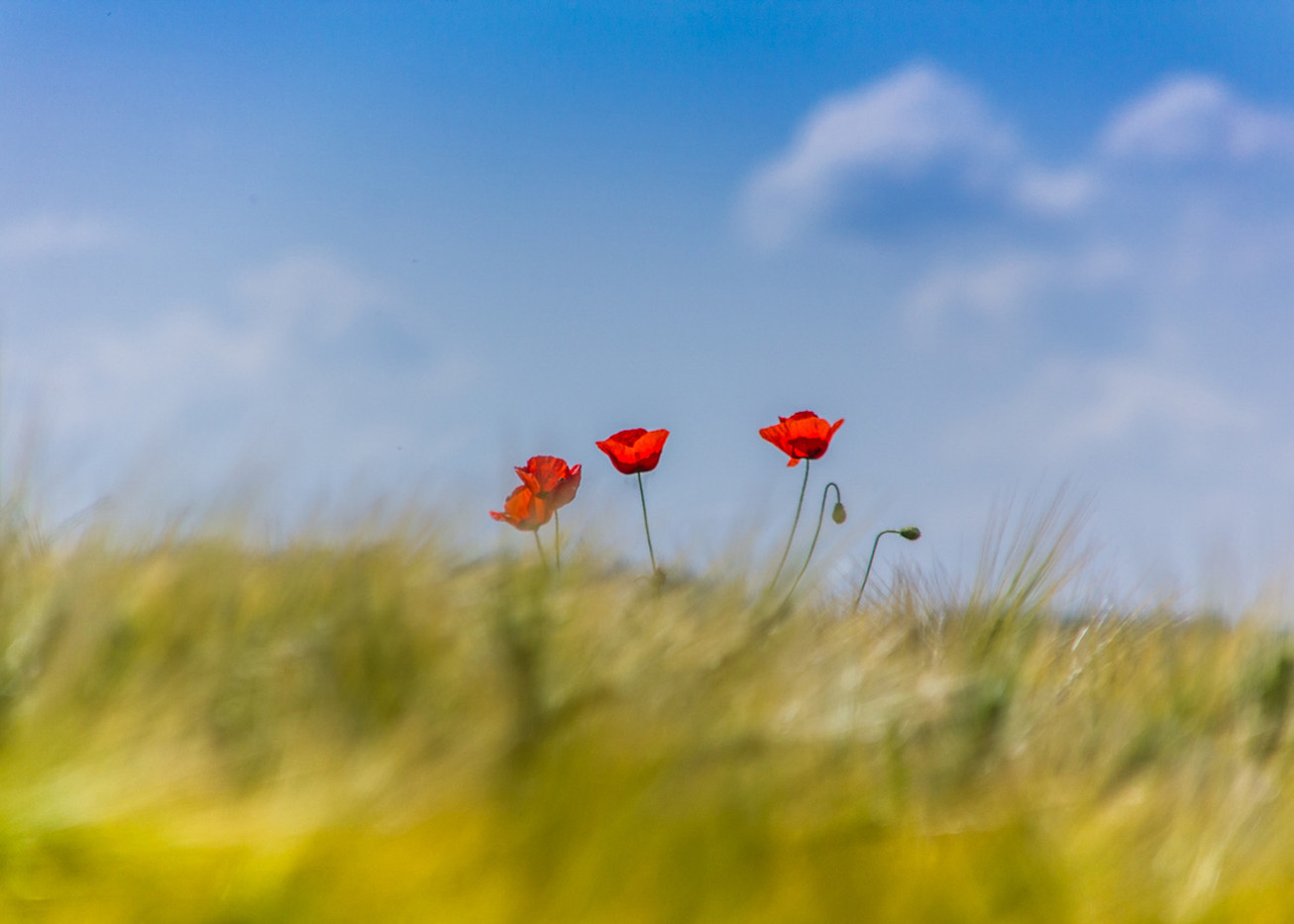 17 LONELY POPPIES by Colin Smith