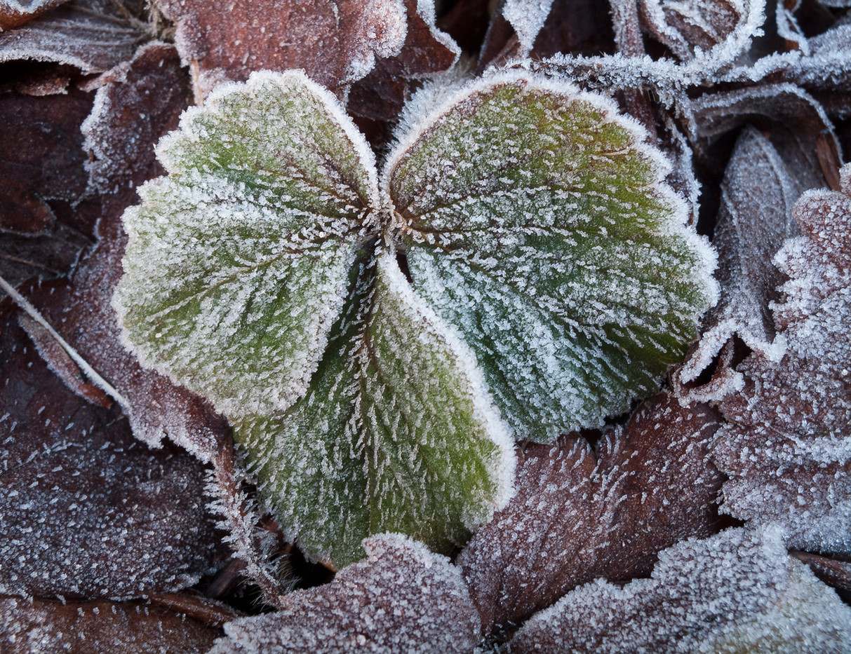 Group 1 17 FROSTED STRAWBERRY LEAVES by Roger Wates