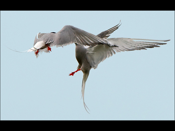 19 ARCTIC TERNS FIGHTING by Swales Parry