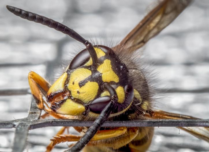 17 WASP CRAWLING THROUGH MESH by Tony Hill