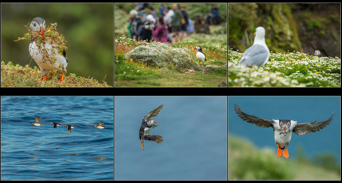 17 A BUSY DAY FOR PUFFINS ON SKOMER ISLAND by David Godfrey