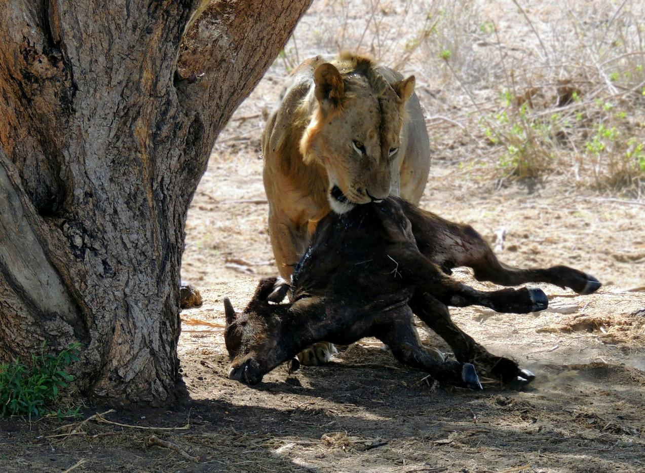 16 YOUNG MALE LION TSAVO KENYA by Norman Cochrane