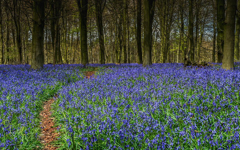 17 PATH THOUGH THE BLUEBELLS by Len Kemp