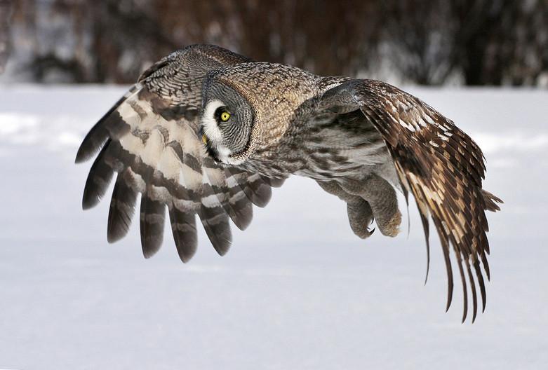 20 GREAT GREY OWL ON THE HUNT by John Huny