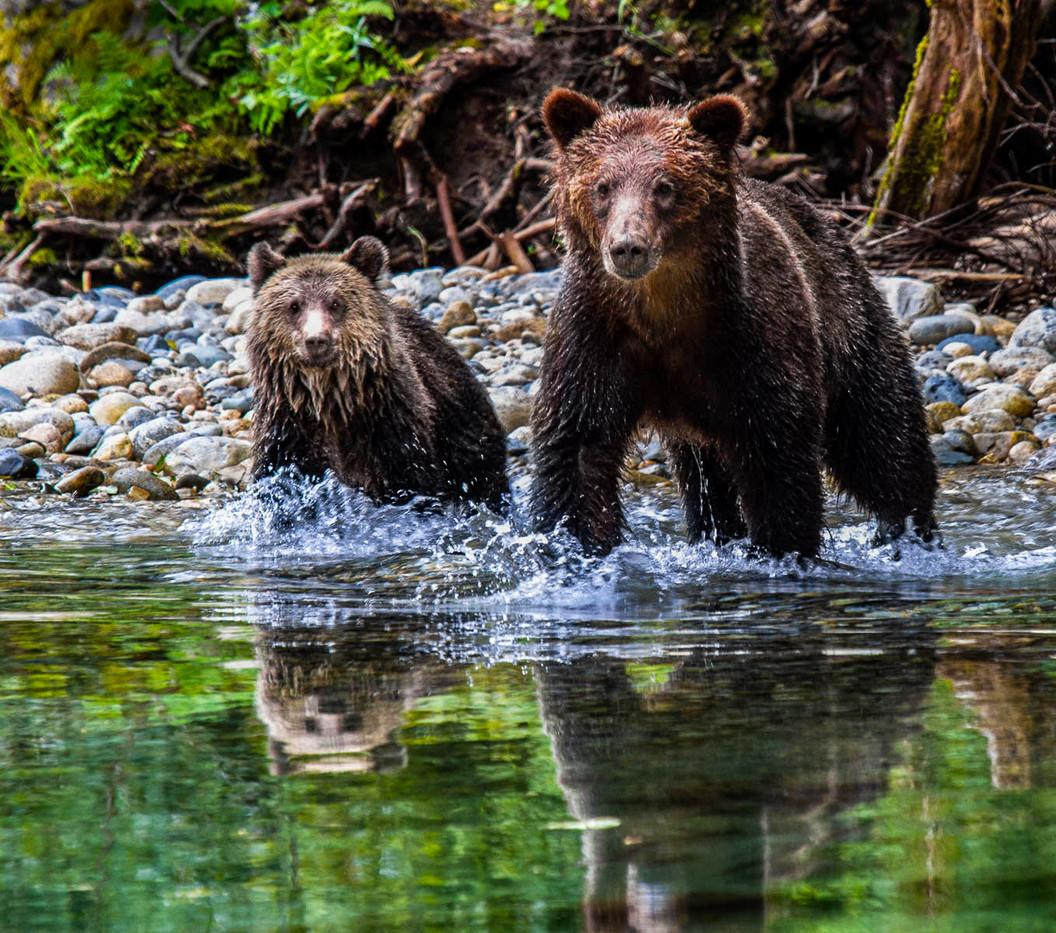 17 GRIZZLY BEAR & CUB by Sue Pennicott