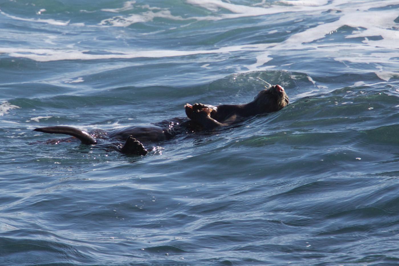 14 CALIFORNIAN SEA OTTER by Simon Lane