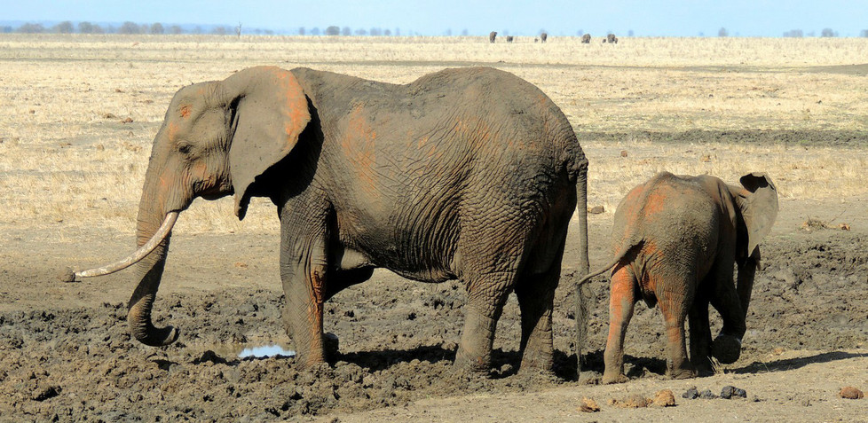 13 AFRICAN ELEPHANT MONTHER AND BABY MUD BATH TSAVO KENYA by Norman Cocharene