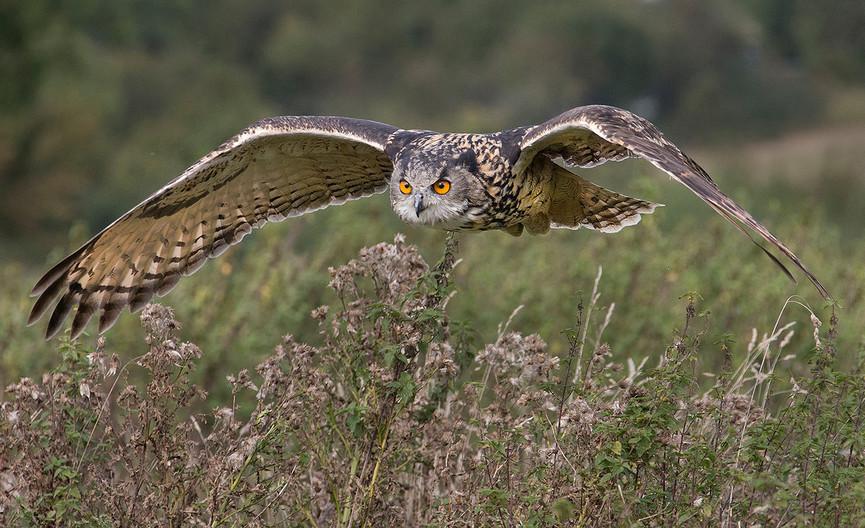 19 SHORT EARED OWL HUNTING by John Hunt