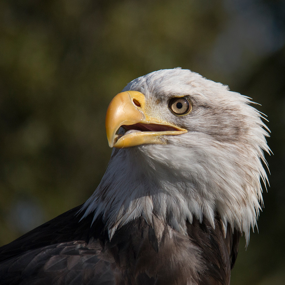 18 EAGLE-EYED STARE by Colin Burgess