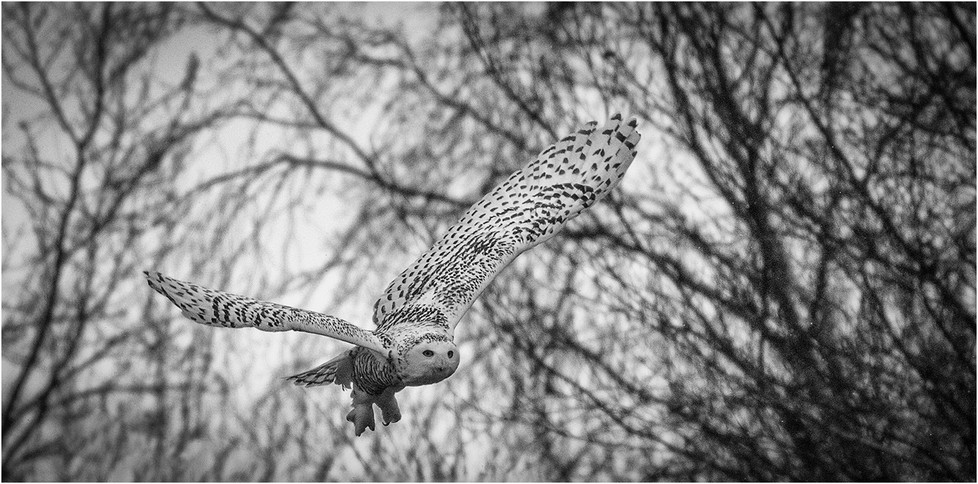 19 SNOWY OWL IN FALLING SNOW by Colin Burgess