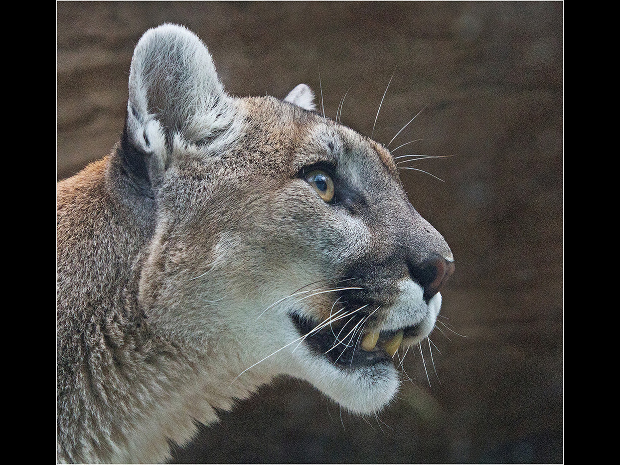 GROUP 1 17 COUGAR by Cathie Agates