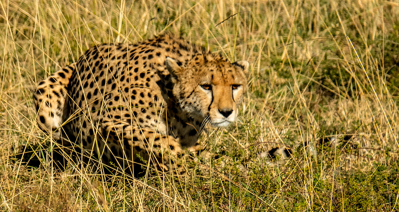 18 CHEETAH by David Parkinson