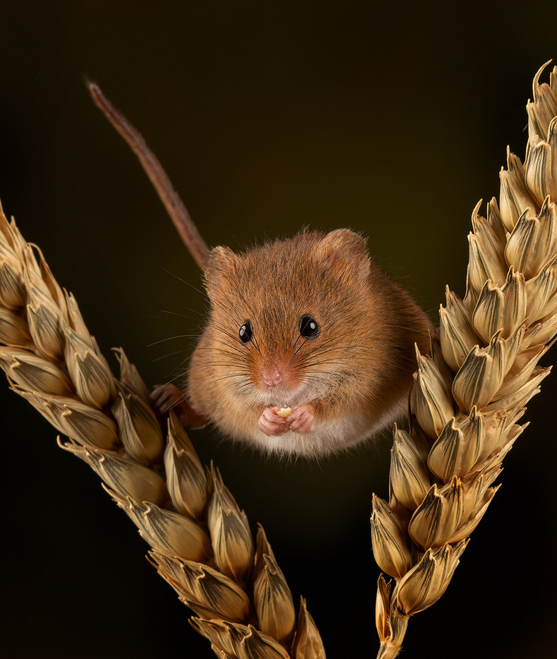18 HARVEST MOUSE ON CORN by John Butler