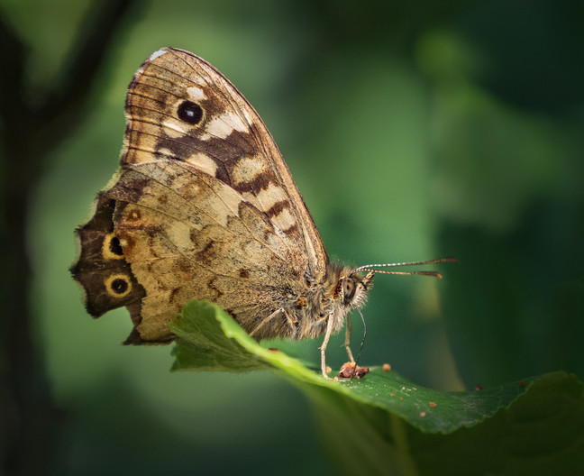 18 SPECKLED WOOD BUTTERFLY IN APPLE TREE by Roger Wates