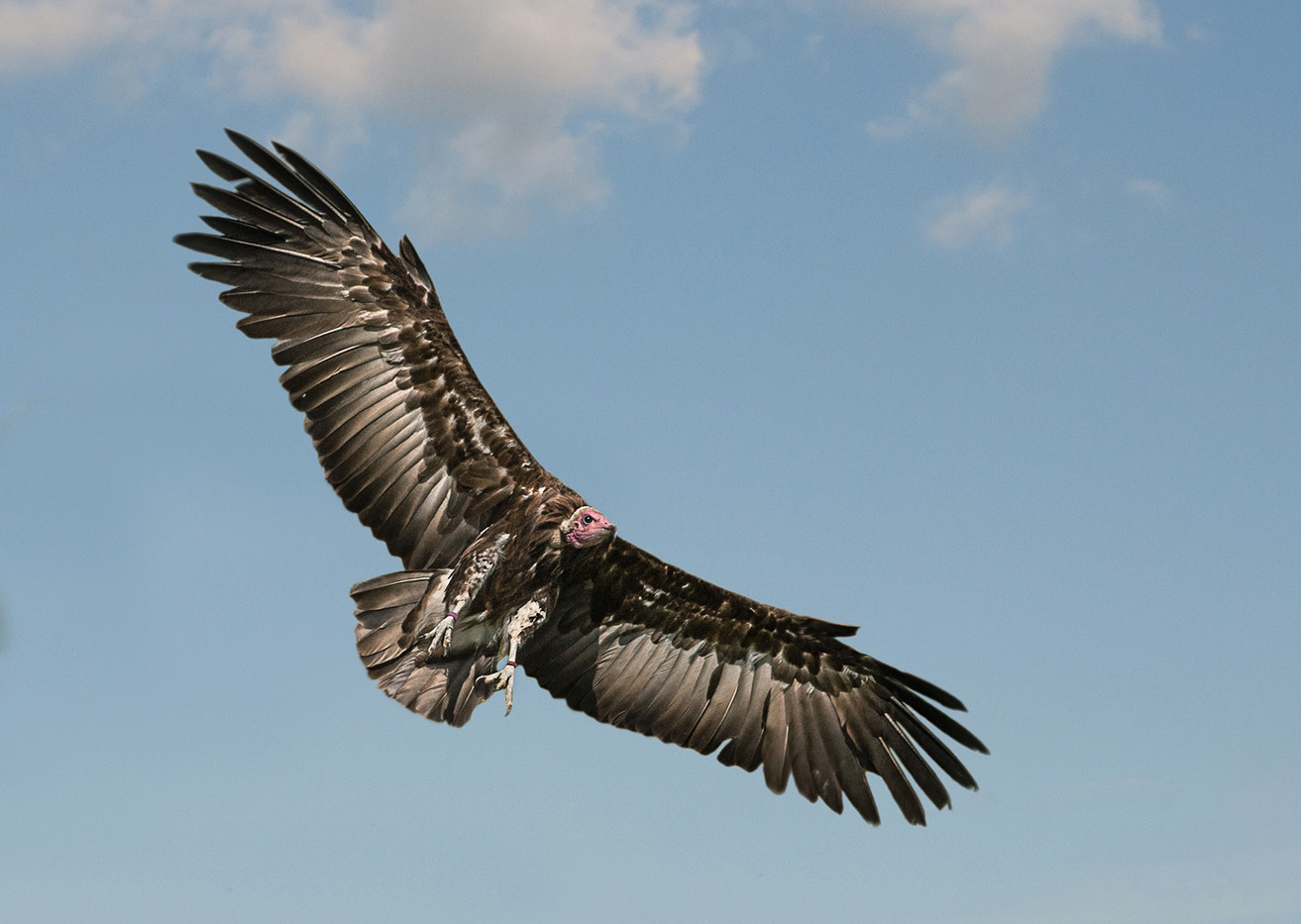 Group 1 18 VULTURE SOARING by Pam Sherren