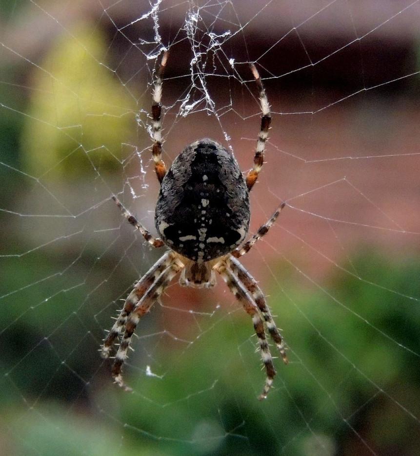 19 GARDEN SPIDER FEMALE by Norman Cochrane