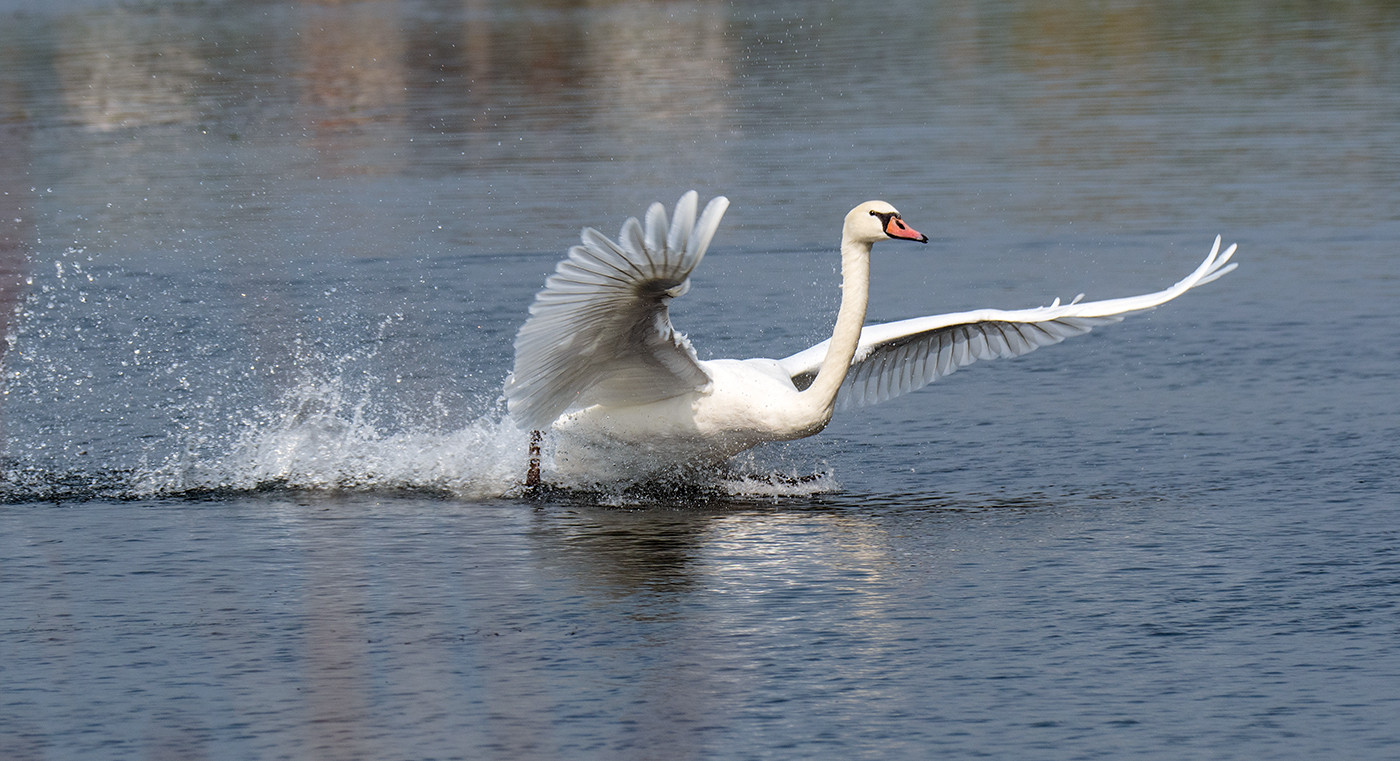 16 SWAN TAKING OFF by John Butler