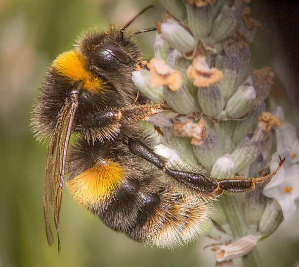 GROUP 1 18 BUMBLE BEE ON LAVENDER by Tony Hill