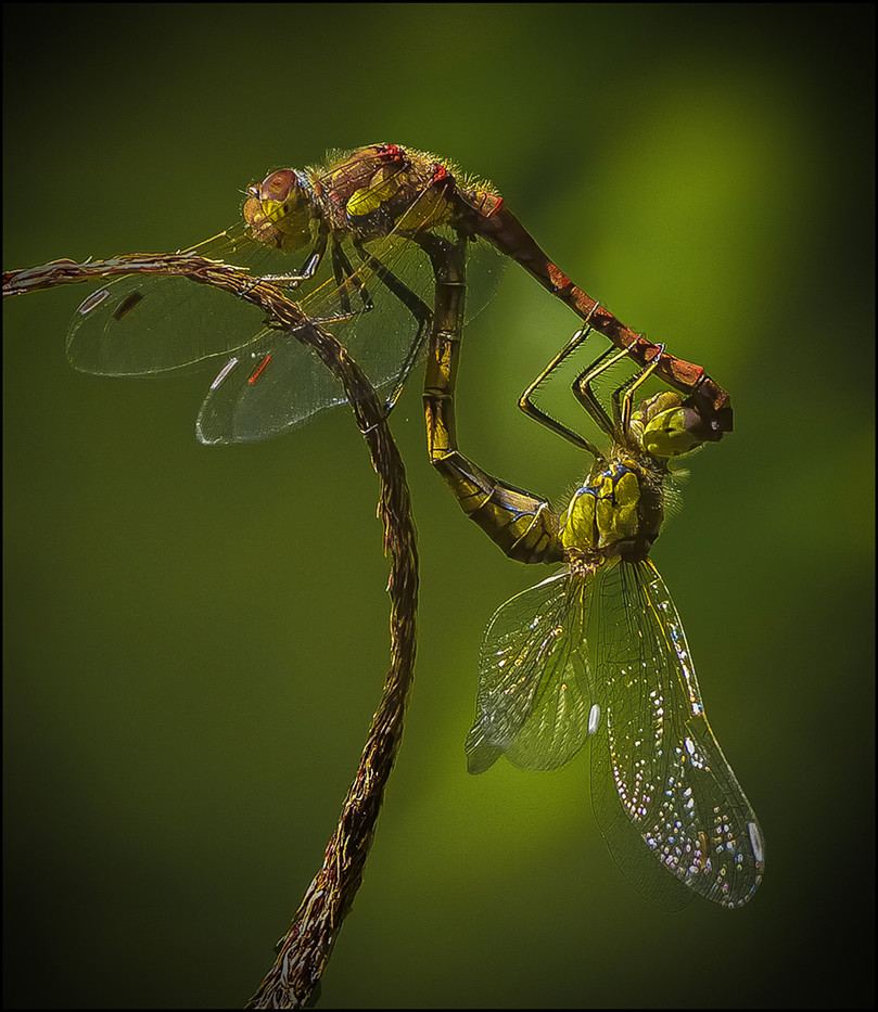 19 COMMON DARTER DRAGON FLIES by Mick Dudley