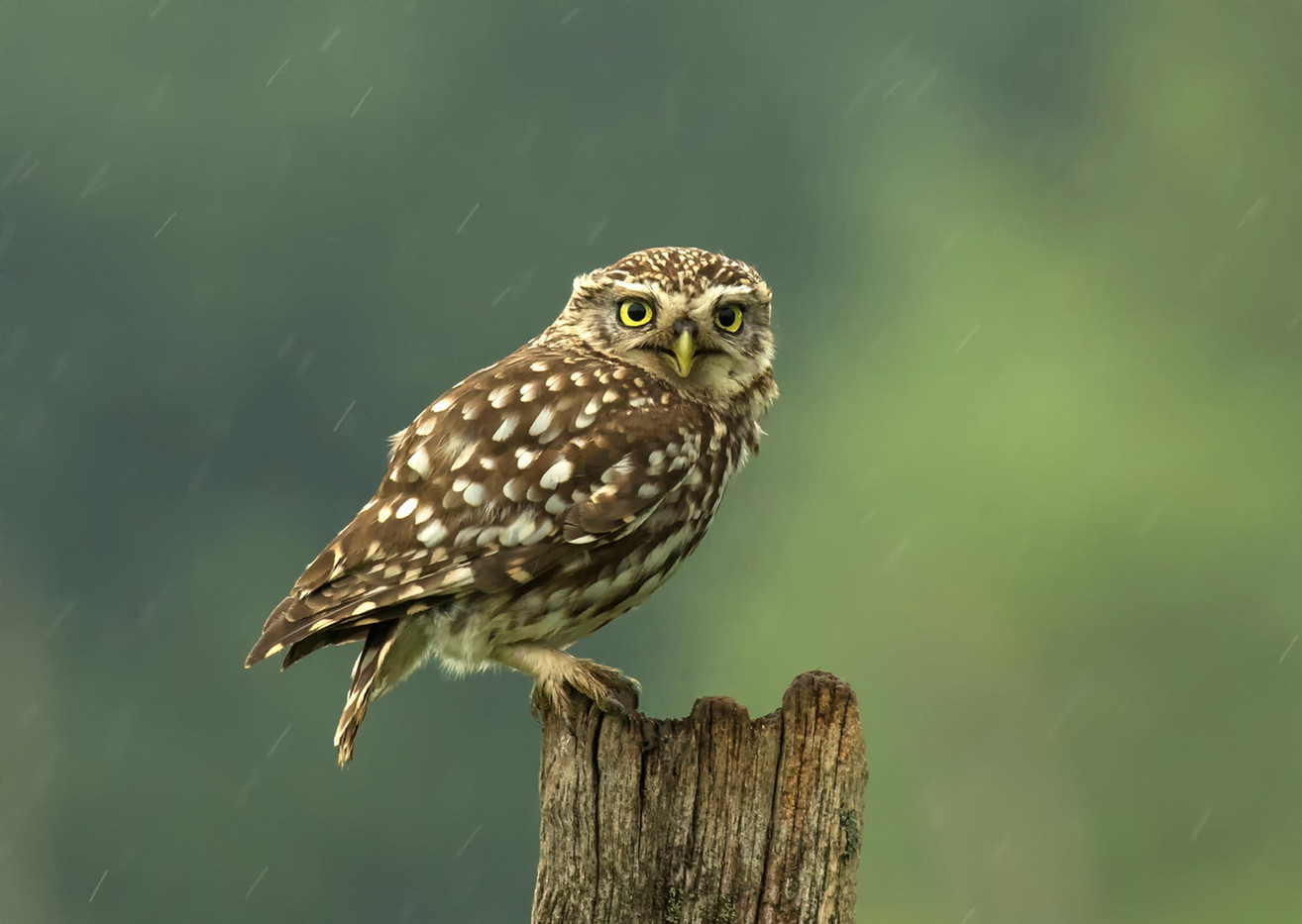 20 LITTLE OWL IN THE RAIN by Glenn Welch