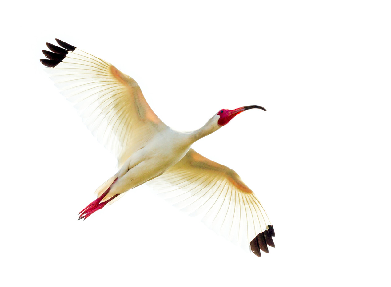 20 BACKLIT WHITE IBIS by David Godfrey