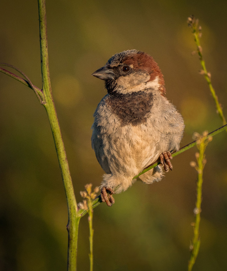 17 MALE HOUSE SPARROW by Roger Wates