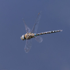 18 MALE MIGRANT HAWKER ON THE HUNT by Alan Cork