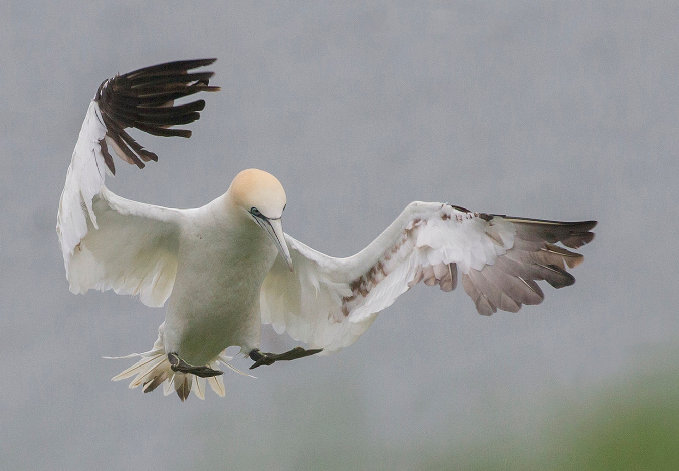 17 GANNET CLEAR TO LAND by John Hunt