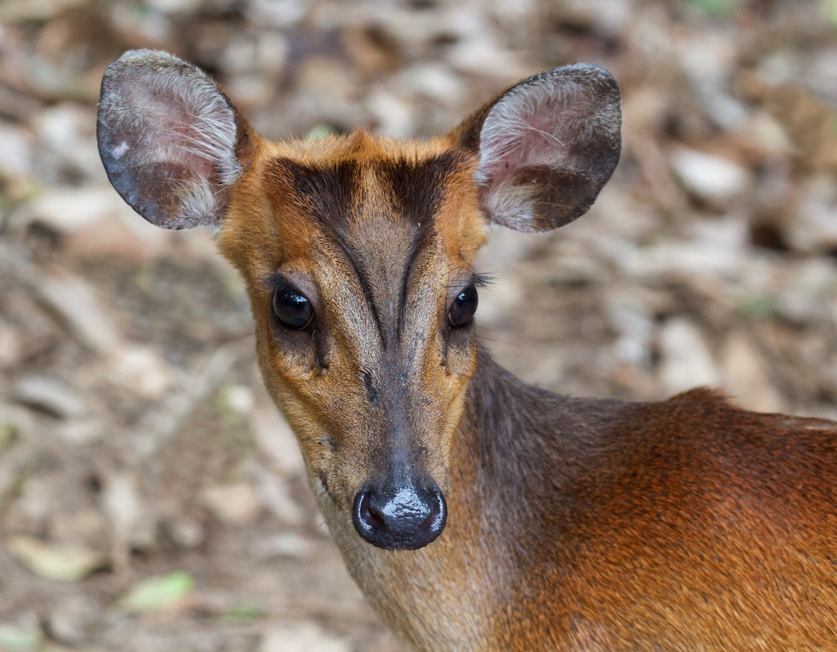 16 INDIAN MUNTJAC by Sue Pennicott