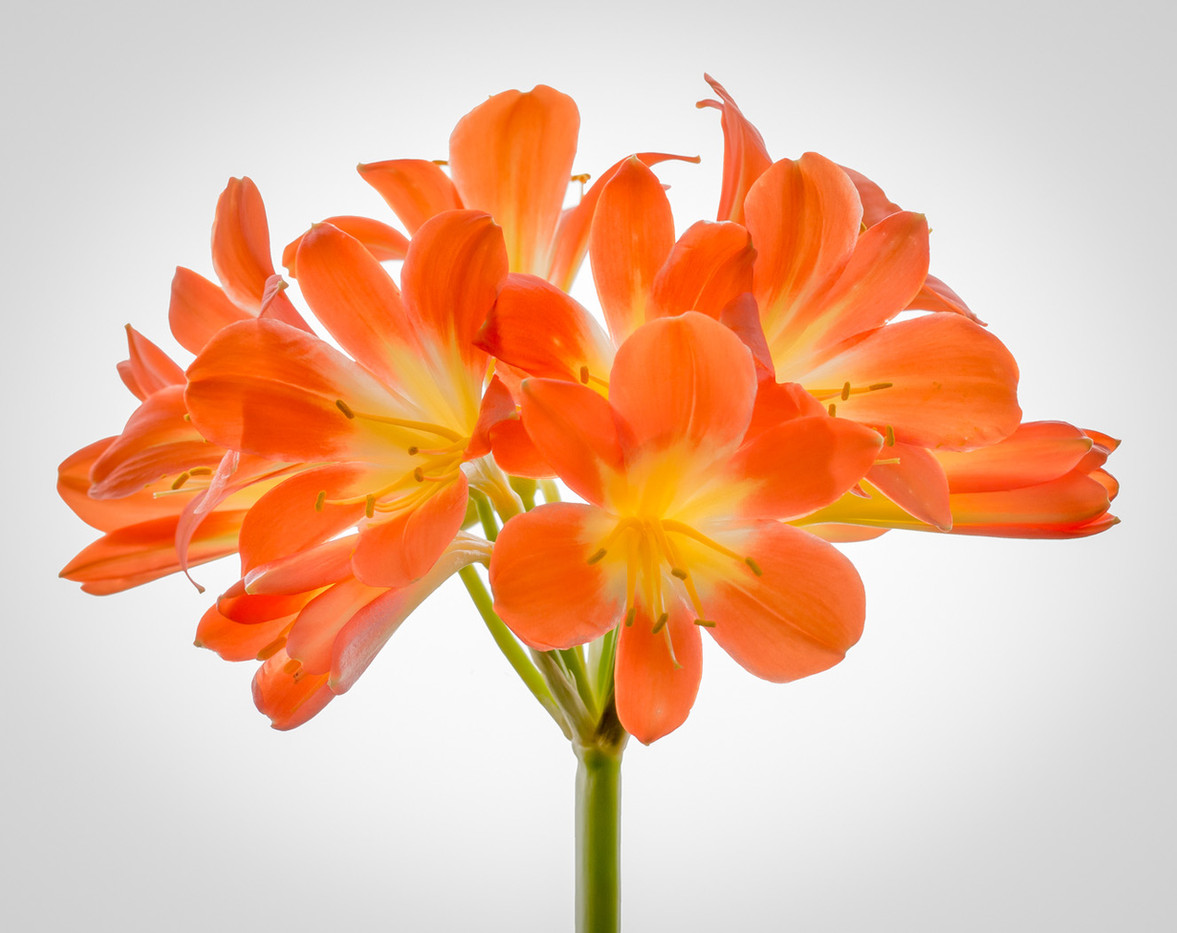 17 CLIVIA MINIATA FLOWER by Roger Wates