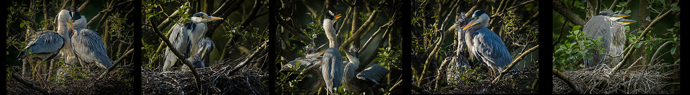 18 THE GROWING HERON FAMILY by David Godfrey