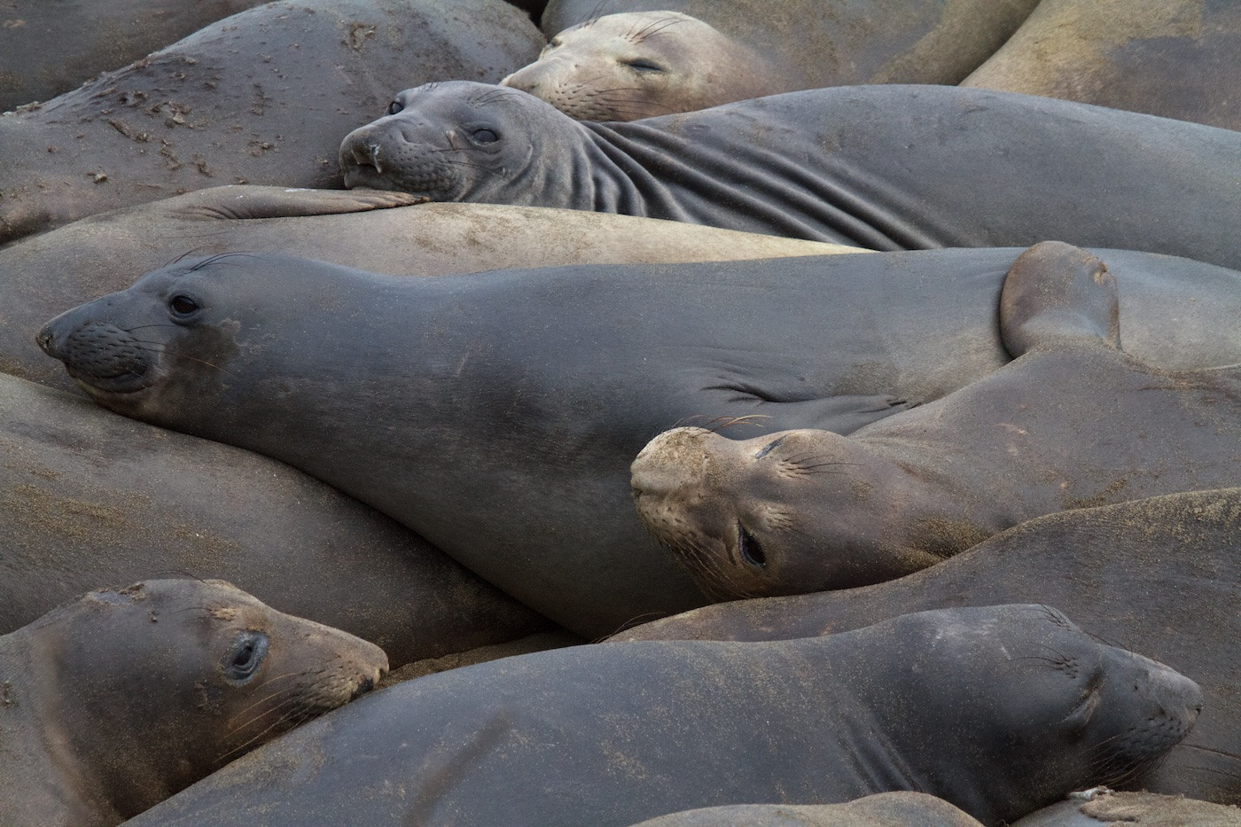 19 NORTHERN ELEPHANT SEAL HAREM by Sue Pennicott