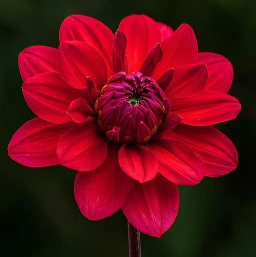 19 RED DAHLIA by John Lewis