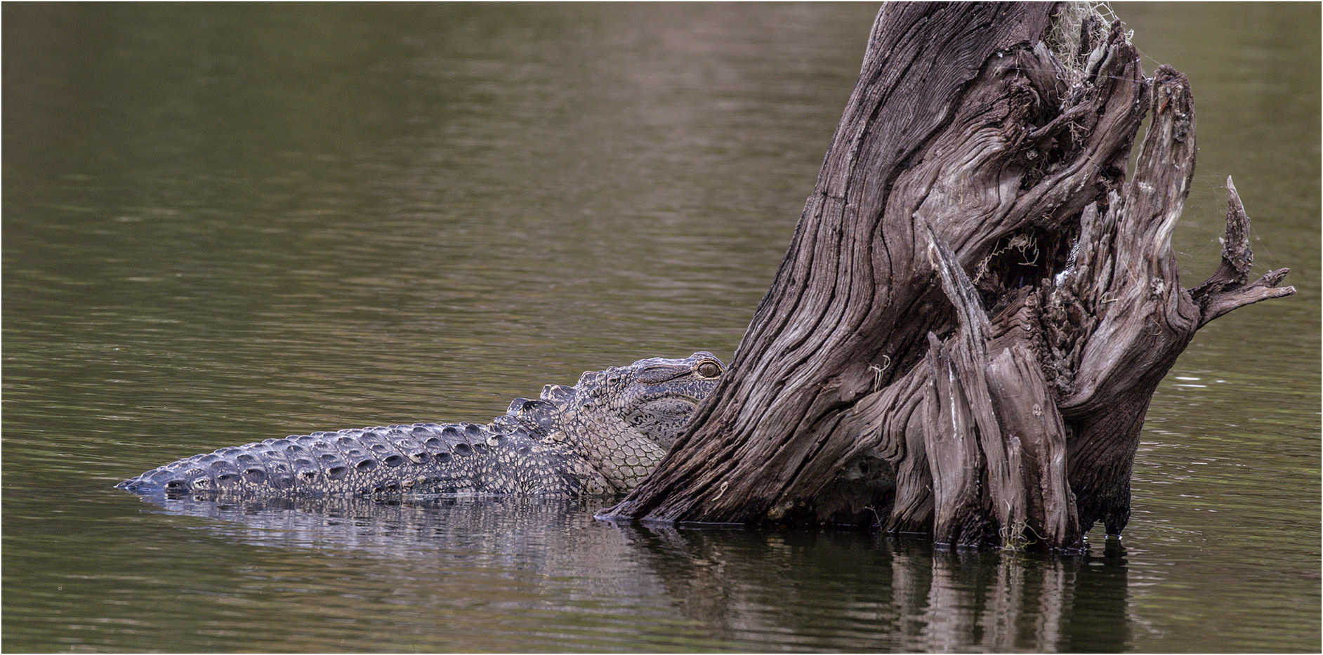 15 FLORIDIAN ALLIGATOR (WILD) by Colin Burgess