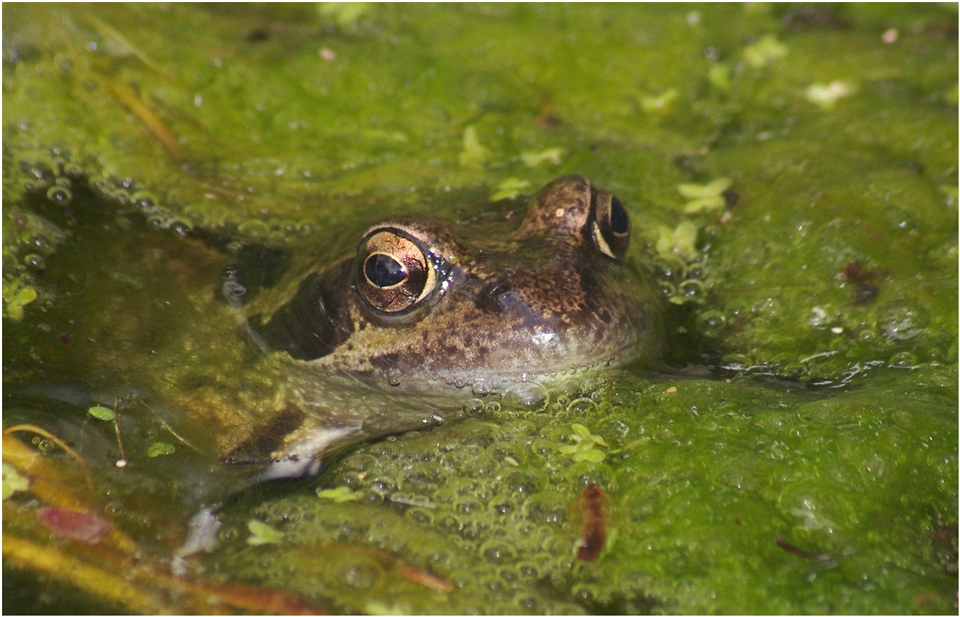 13 COMMON FROG RANA TEMPORARIA by Ron Gaisford